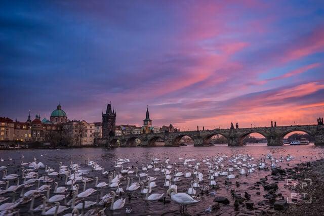 Swans and Charles bridge at sunset, Prague