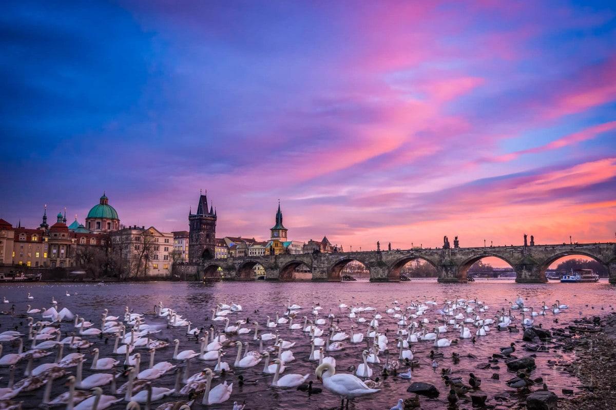 Swans in Prague at sunset